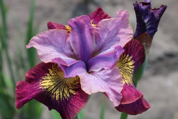 "Iris sibirica ""Peacock ® Miss Apple (i.13cmT.)"