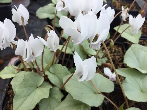 "Cyclamen hederifolium ""silver cloud White"" Silberveilchen (i.9cmT.)"
