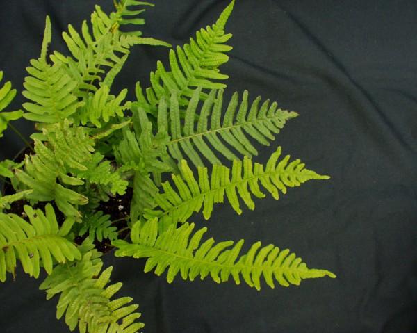 Polypodium vulgare (i. 9cm T.)