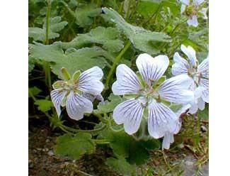 Geranium renardii Geranium renardii (i.11cmT.) Storchschnabel