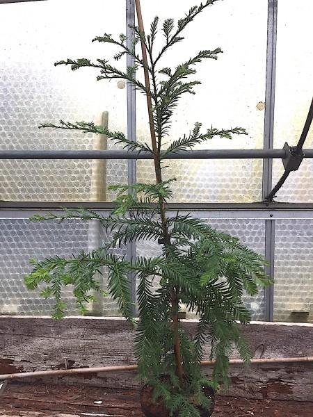 Sequoia sempervirens (i.18cmT.)jetzt 70 cm