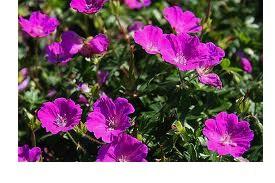"Geranium sanguineum ""Max Frei"" (i.9cmT.) Storchschnabel"