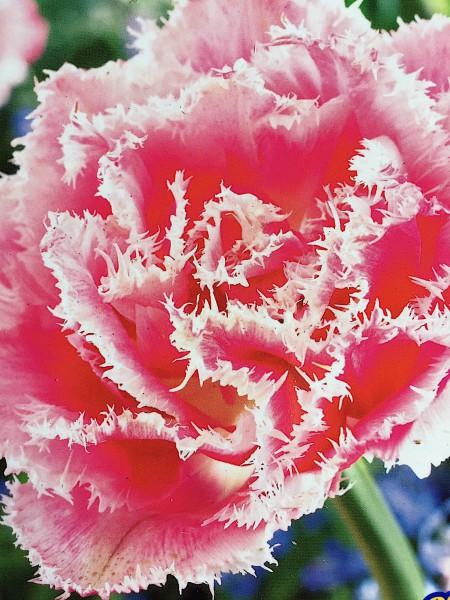 "Tulipa ""Queensland"" (7 i. Pack)"