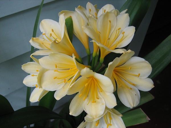 """Clivia miniata (i.13cmT.)""""Yellow"""""""
