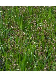 Hierochloe odorata (i.13cmT.) Duft- Mariengras (Süßgras)