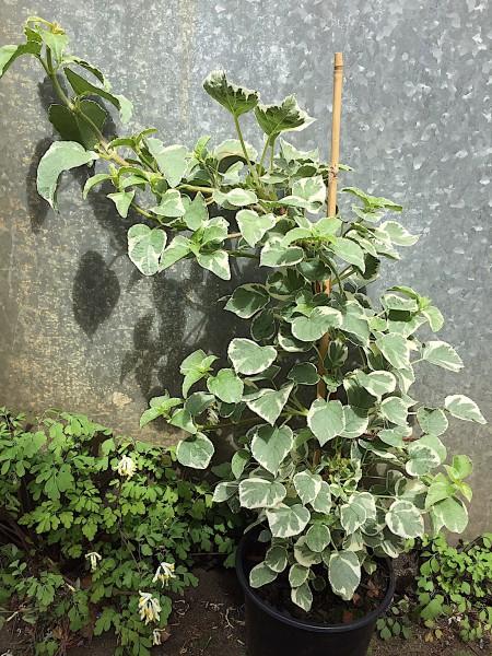"Hydrangea petiolaris ""Silver Lining"" (i.2lT.)"