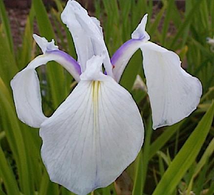 "Iris laevigata ""Snowdrift"" ( i. 15cmT.) Sumpf Schwertlilie"