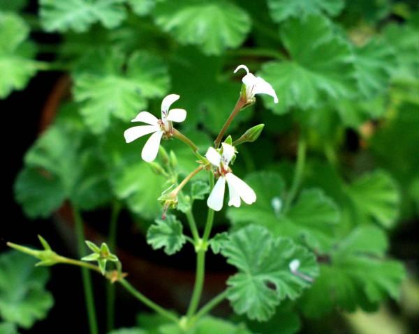 Pelargonium fragrans (I.11cmT.)