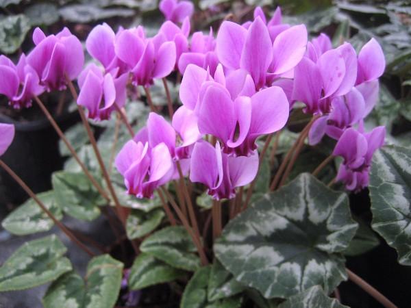 "Cyclamen hederifolium ""Ivy Ice Purple"" (i.9cmT.)"