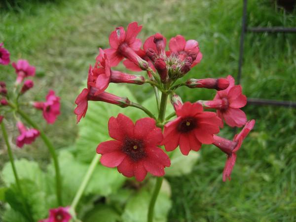 "Primula japonica ""Millers Crimson"" (i.12cmT.) Etagen-Primel, Sumpf Primel"