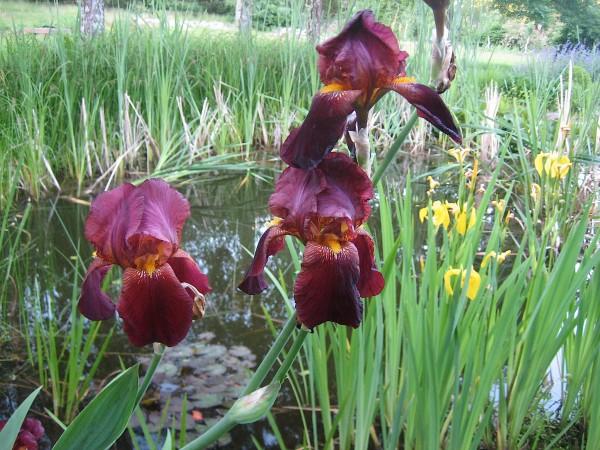 "Iris barbata-elatior ""Solid Mahagony"" (i.11 cmT.) Iris"