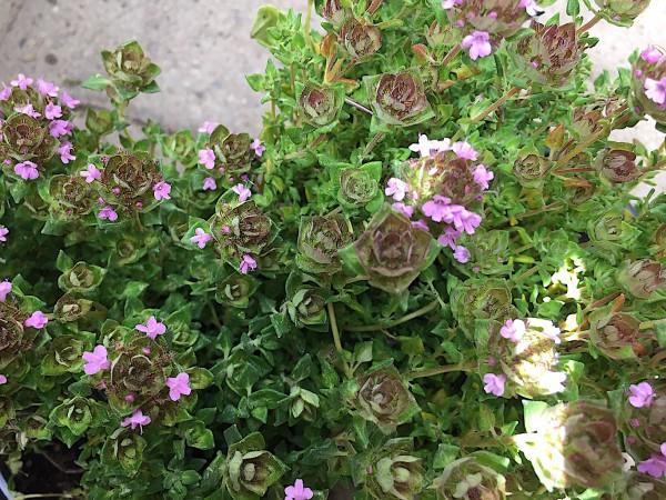 """Thymus sp. """"Rosen"""" (i.12cmT.)"""