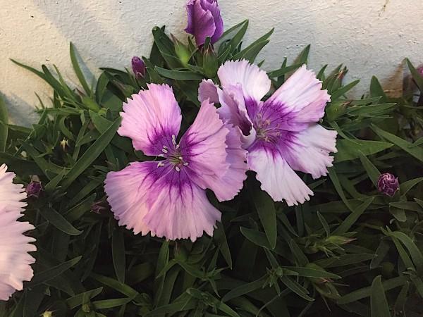 """Dianthus caryophyllus """"Flieder"""" (i.11cmT.)"""