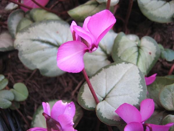 "Cyclamen coum ""Silverleaf rosa"" Silberveilchen (i.9cmT.) rosa"