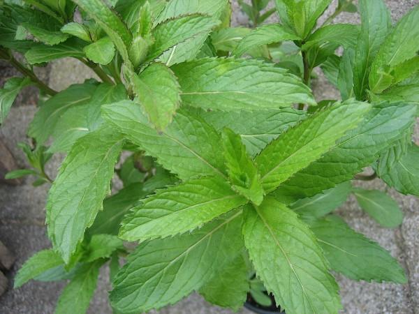 Mentha piperita v. citrata ´Lemon` (i.12cmT.) Zitronenminze