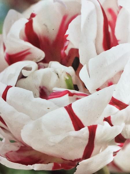 """Tulipa """"Carnaval de Nice"""" (10 i. Pack), Tulpe, Papagei"""