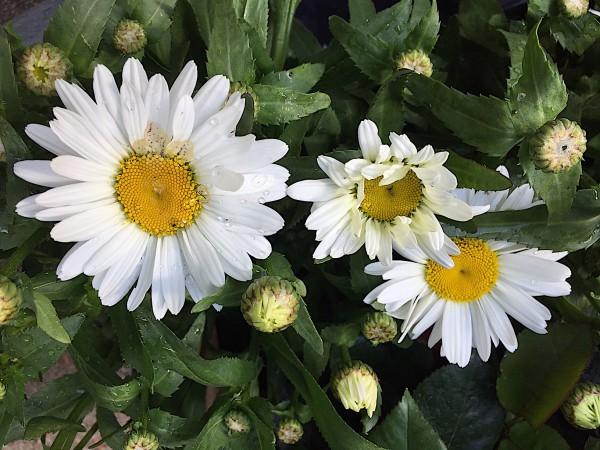 """Leucanthemum maximum """"Western Star Taurus"""" (i. 19cmT.)"""