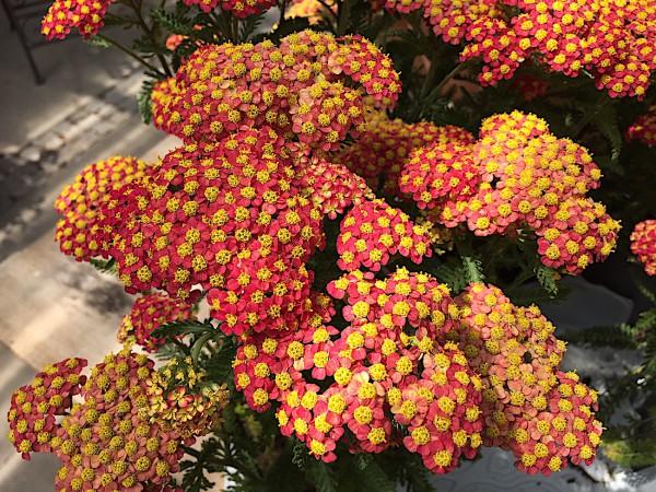 """Achillea millefolium """"Safran"""" (i.12cmT.) Schafgarbe"""