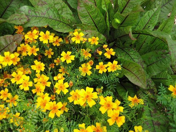 """Tagetes tenuifolia """"Orange - Gem"""" (i. 12 cm Topf), Gewürz-Tagetes"""