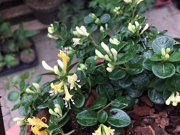 """Lonicera crassifolia """"Little Honey""""® (i.14cmT.), Kriechende Heckenkirsche"""