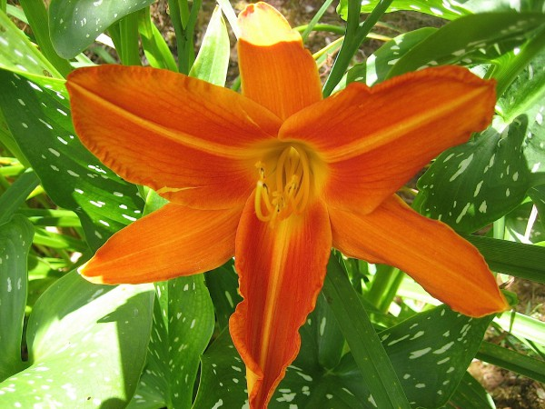 "Hemerocallis ""Flasher"" (i.11cmT.) Taglilie aus Neuseeland importiert"