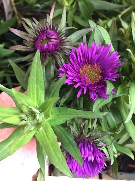 "Aster novi-angliae ""Purple Dome"" (i.11 cmT.), Raublatt Aster"