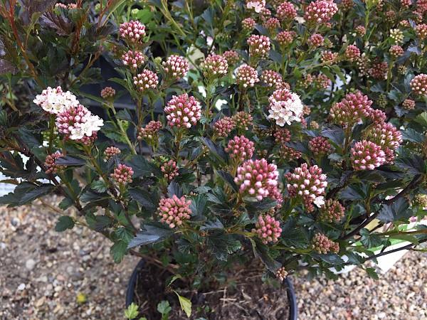 "Physocarpus op. ""Tiny Wine""(i.19cmT.), Fasanen- oder Blasenspiere, Teufelsstrauch"