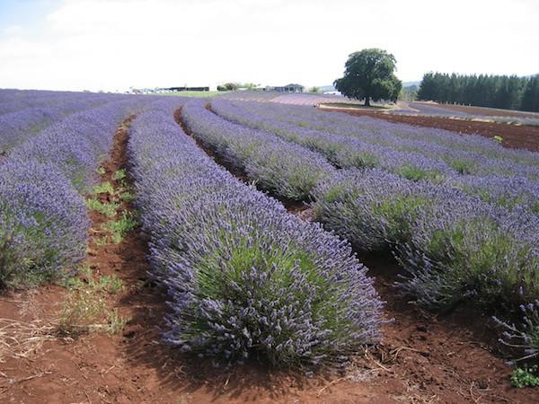 Lavandula angustifolia ´Grosso` (i.12cmT.) Lavendel