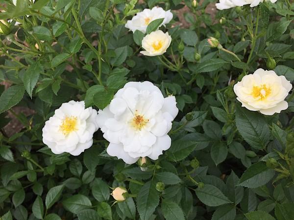"Rose ""Bienenweide weiß ®"" (i.3 l Topf), Bienen - Duft- Rose"