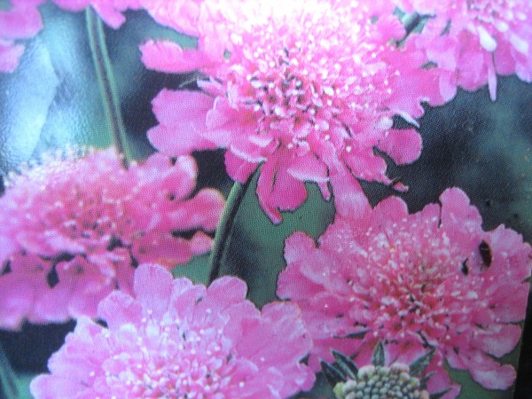 """Scabiosa columbaria """"Pink Diamond"""" (i.17cmT.) Scabiose"""