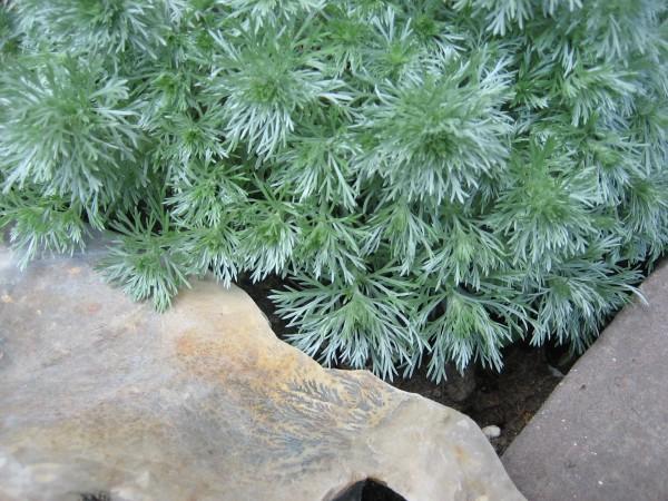Artemisia schmidtiana ´Nana` (i.11cmT.) Silberedelraute