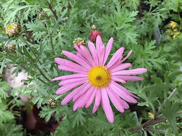 """Chrysanthemum zwadskii lat. """"Clara Curtis"""" (i.11cmT.), Chrysantheme"""