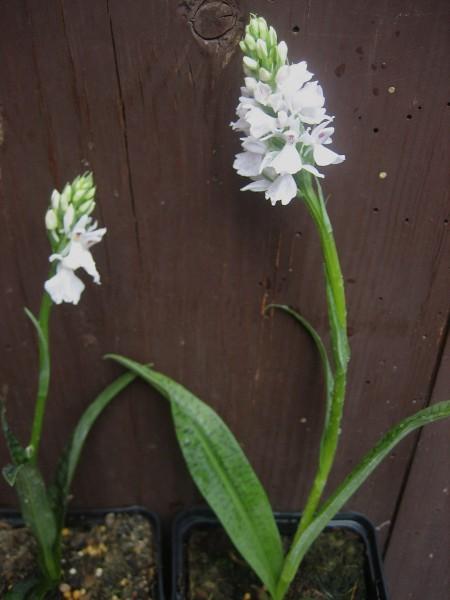 Dactylorhiza majalis praetermissa (i.9cmT.) Orchidee - Knabenkraut