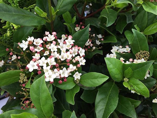 """Viburnum tinus """"Gwenllian"""" (i. 17 cmT.)"""