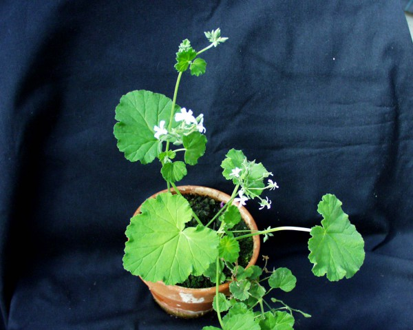 Pelargonium ´Appelmint`(I.11cmT.)