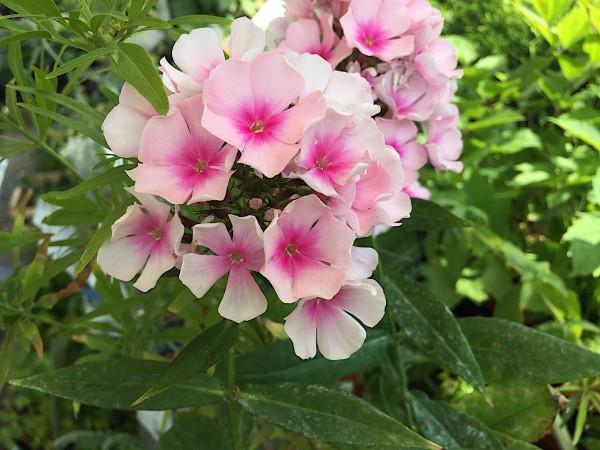 "Phlox paniculata ""Bright Eyes"" (i.11cmT.)"