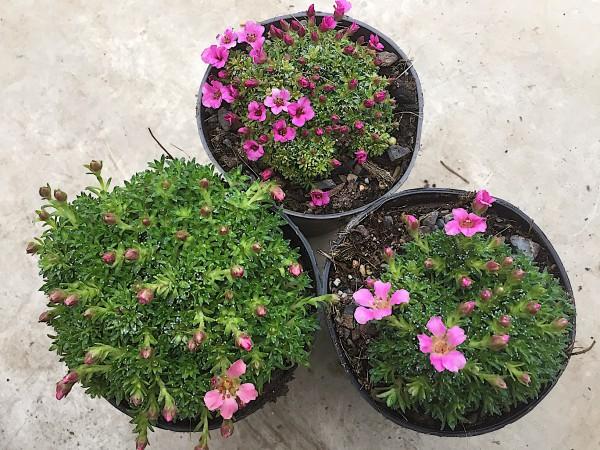 """Saxifraga kabschia """"1 Pflanze, rosa Farbton nach unserer Wahl"""",Steinbrech (i.10cmT.)"""
