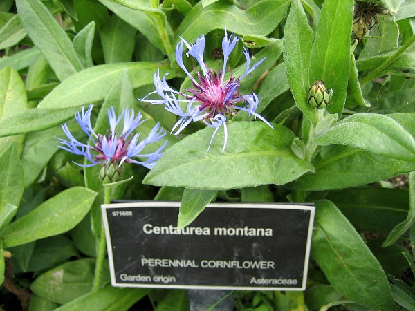 Centaurea montana (i.9cmT.) Blaue Berg-Flockenblume