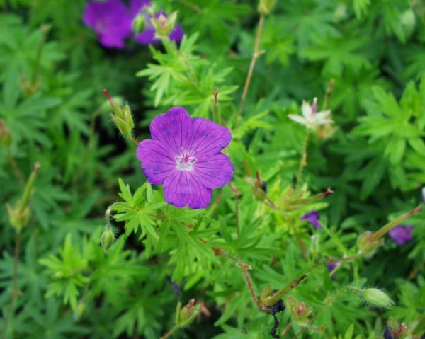 "Geranium sanguineum ""Feu d Àutomne"" Storchschnabel (i.11cmT.)"