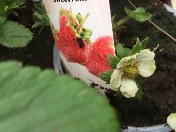 "Fragaria ""Sweet Ann"" (i.10cmT.) Erdbeere Immer Tragende Sorte"