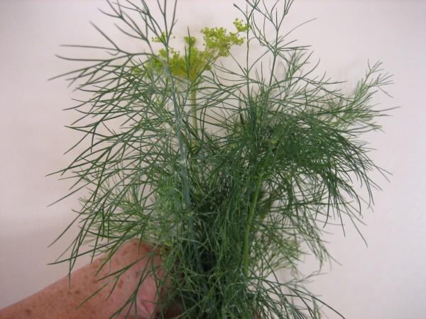 Anethum graveolens (i.11cmT.) Dill, farnblättrig