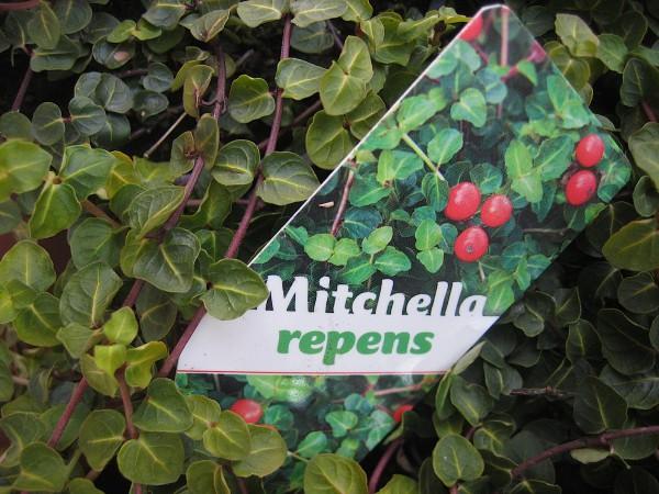 Mitchella repens (i.10cmT.) Rebhuhnbeere