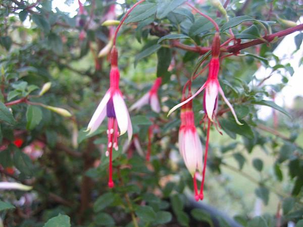 Fuchsia magellanica var. arauco (i.11cmT.) Freiland Fuchsie