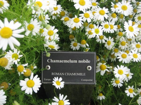 Chamaemelum nobile (i.12cmT.) Römische Kamille