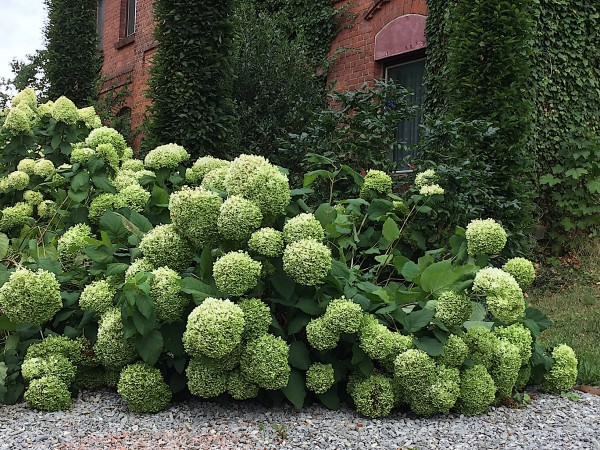 "Hydrangea arborescens ""Annabelle"" (i. 16cmT.)"