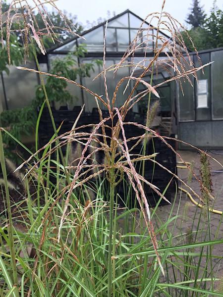 "Miscanthus sinensis ""Red Cloud"" R (i.17cmT.)"
