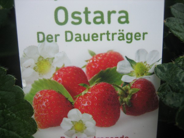 "Fragaria ""Ostara"" (10cmTopf) Erdbeere, Dauerträger"