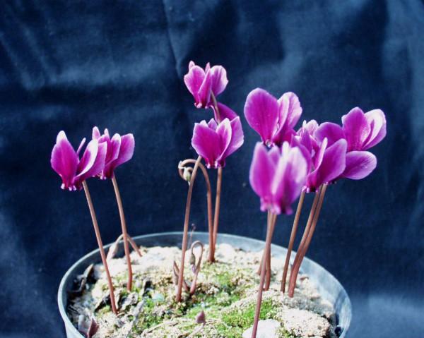 Cyclamen hederifolium ´dunkelste rote Art`(i.9cmT.)