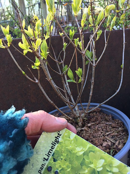 "Hydrangea paniculata ""Limelight""® (i.19cmT.)"