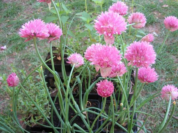 Allium schoenoprasum ´Forescate`(i.12T.) Schnittlauch, burgunderrot